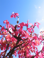Das rote Herbst-Laub einer Korkspindel vor einem blauem Himmel