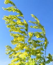 Zweige einer gelbe Robinie bewegen sich im Wind vor hellblauem Himmel