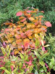 Federbuschstrauch in Herbstfärbung