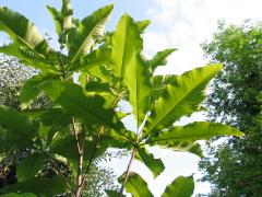 Die Blätter einer Magnolie