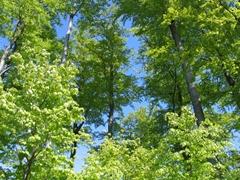 Bäume mit dem maigrünen Blättern