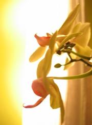 Foto - Orchideen-Blüte