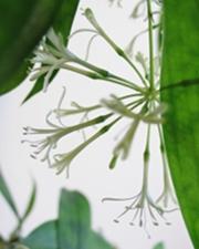 Bambus-Blüte
