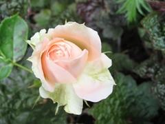 Die Blüte einer Rose
