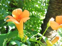 Campsis-Blüte in einem Kirschbaum