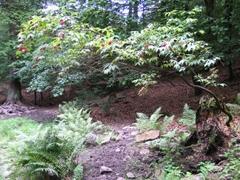 Im Wald – Ein Strauch mit roten Beeren, darunter Farne, Bäume im Hintergrund