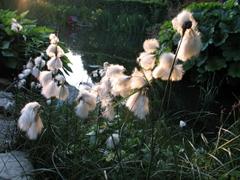 Wollgras vor einem Teich