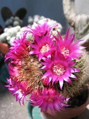 Ein Kaktus mit vielen kleinen Blüten