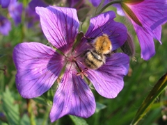 Eine Blüte mit Biene