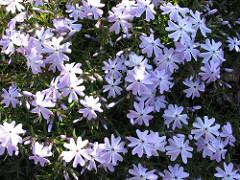 BlaueBlüten