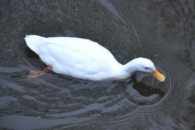 Eine Ente im Fluß