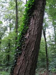 Ein mit Efeu bewachsener Baumstamm im Wald