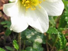 Die halbe Blüte von einer Silberwurz