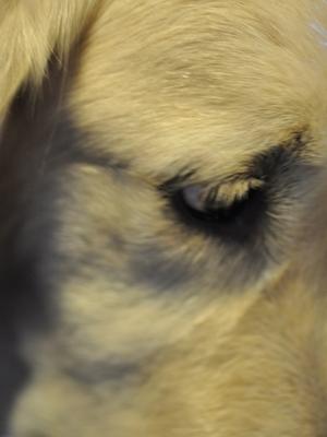 Ein Ausschnitt vom Kopf eines Golden Retrievers