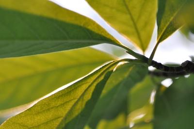 Die Blätter einer Magnolie.