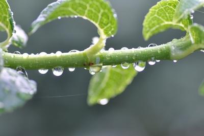 Ein mit Regentropfen behangener Zweig einer Kletterhortensie.