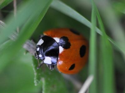 Ein Marienkäfer krabbelt im Gras
