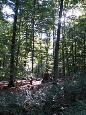 Ein Wald, in dem die Sonnen hinein scheint.