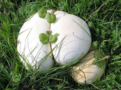 Ein großer, weißer Pilz.