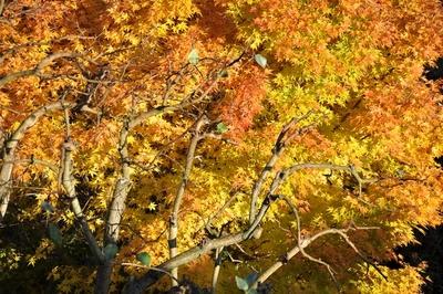 Die Blätter eines Ahornbaumes mit Herbstfärbung.
