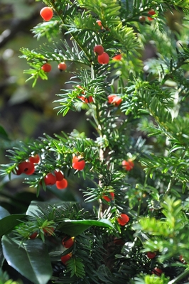 Der Zweig einer Eibe mit roten Beeren.