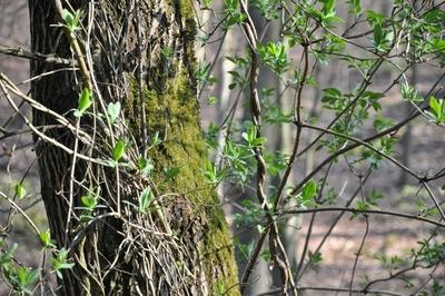 Eine Waldrebe