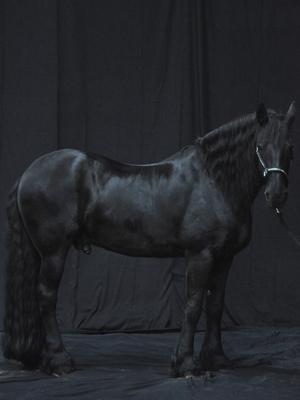 Ein schwarzes Pferd vor einem dunklem Hintergrund
