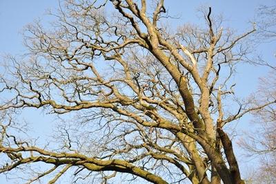 Eine Baumkrone ohne Laub im Sonnenlicht des späten Nachmittag