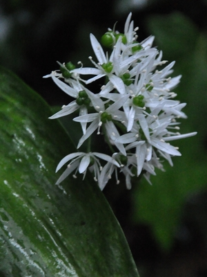 Bärlauch-Blüte