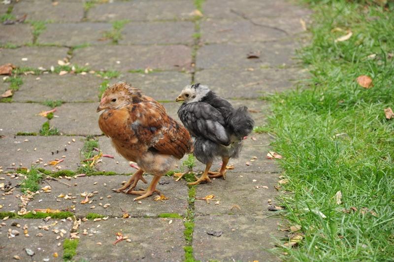 Zwei kleine Hühner