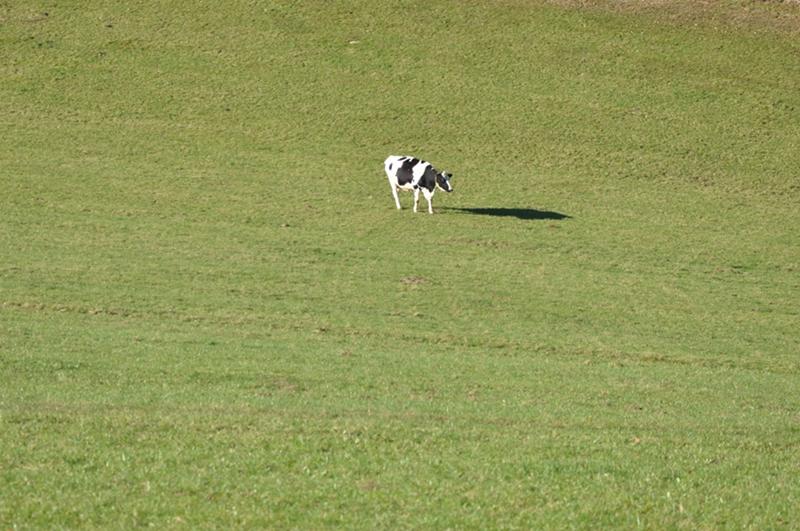Eine Kuh auf einer Weide