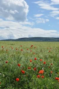 Ein Kornblumenfeld
