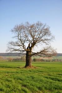 Ein alter, großer Baum auf einer Wiese.