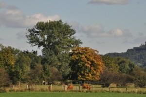 Eine Wiese mit braunen Kühen. Im Hintergrund Bäume im Herbstlaub.