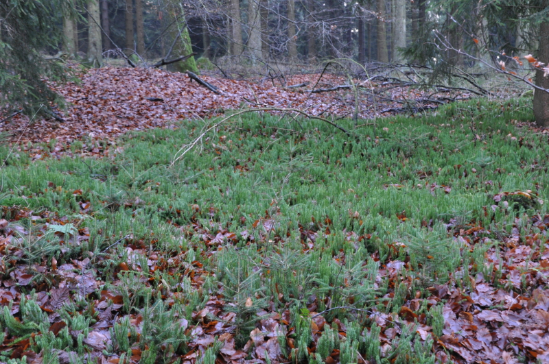 Zarte, niedrig wachsenden Waldbodenpflanzen