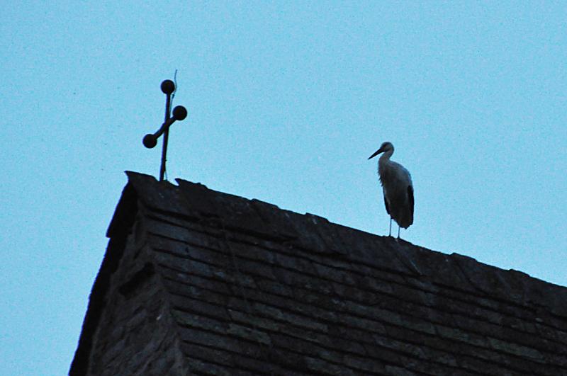 Ein Storch auf dem Kirchturmdach der Kirche Sankt Kilian in Lügde