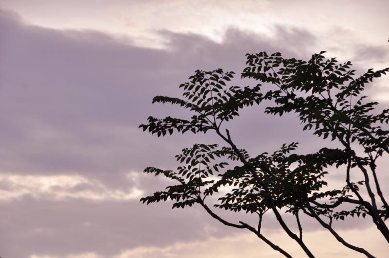 Die Äste und Blätter einer Aralie vor einem leicht bewölktem Abendhimmel.