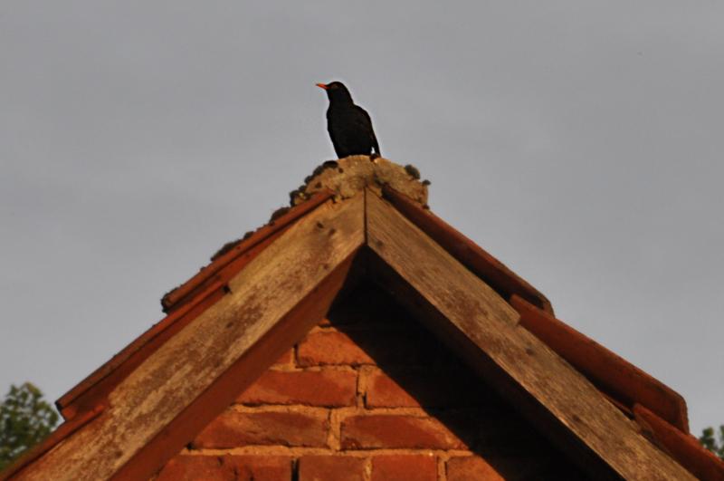Eine Amsel auf dem Dachfirst