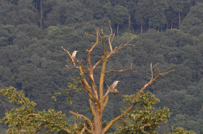 Zwei Reiher sitzen auf einem Baum und schauen in dieselbe Richtung.