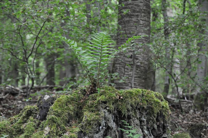 Ein Farn auf einem Baumstumpf.