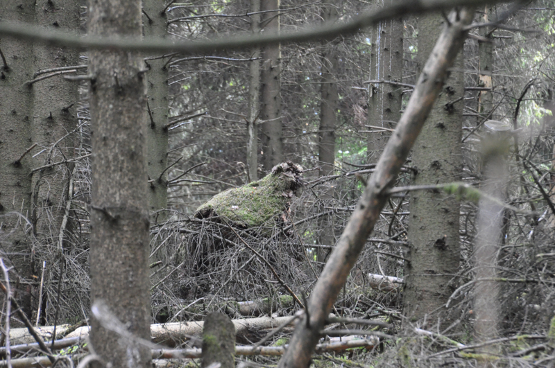 Ein dichter, wilder Wald. Ein bemooster Baumstumpf sieht aus wie ein Affe.