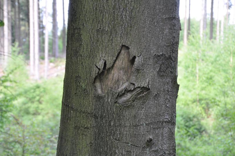 Eine Verletzung an der Rinde eines Baumes hat die Umriss-Form eines Frosches.