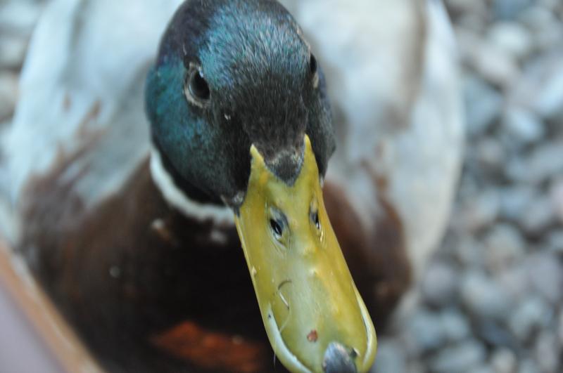 Kopf einer Ente