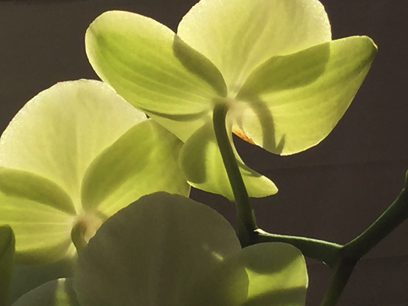 Blüten einer Orchidee