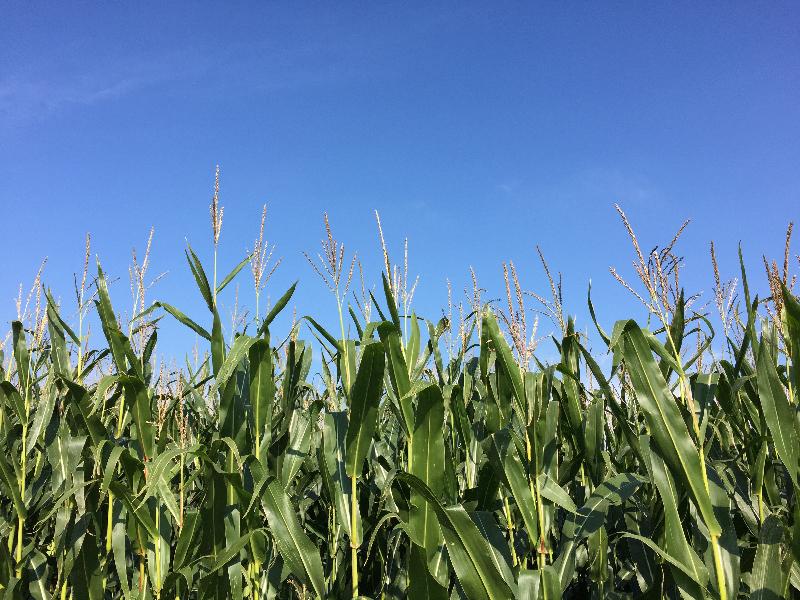 Ein Maisfeld