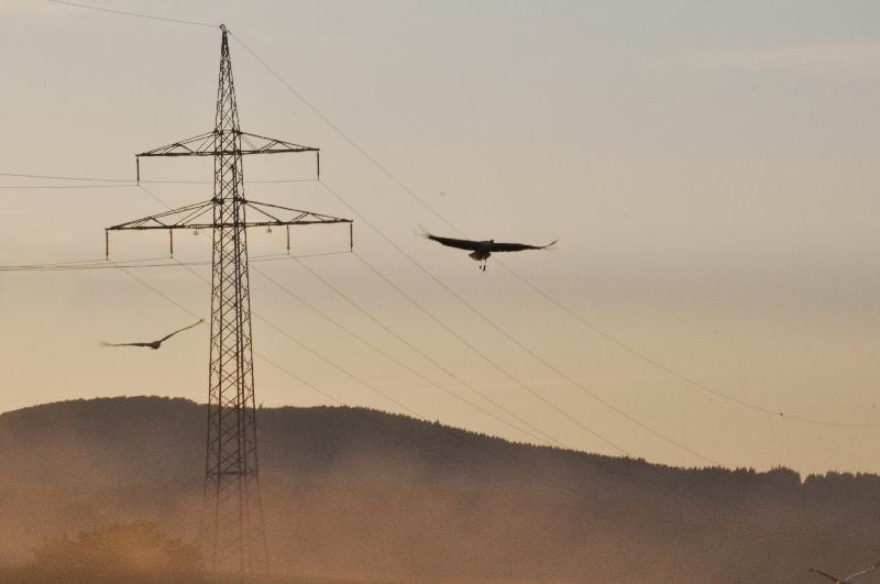 Störche fliegen über Hochspannungsdrähte