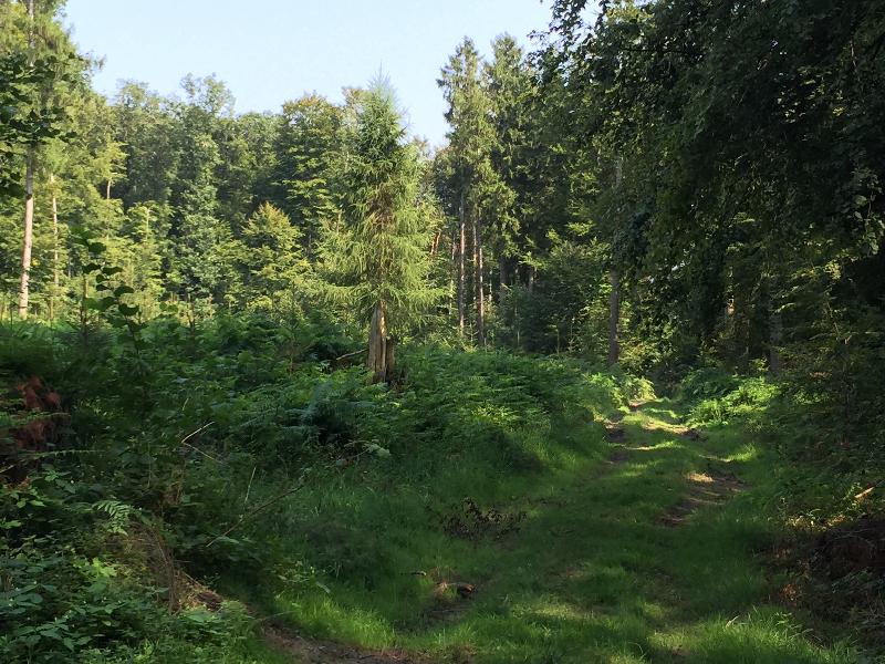 Ein fast vollständig grüner Weg führt durch den Wald