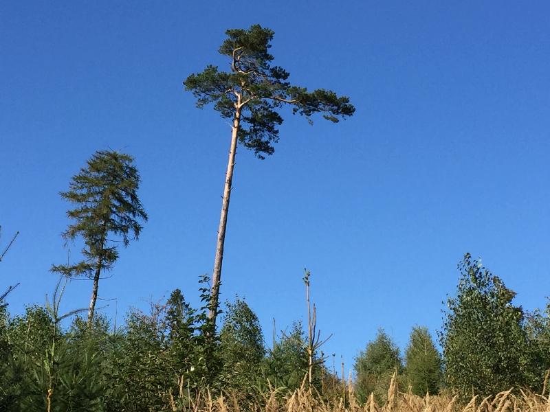 Im Wald: Eine Kiefer überragt alle anderen Bäume