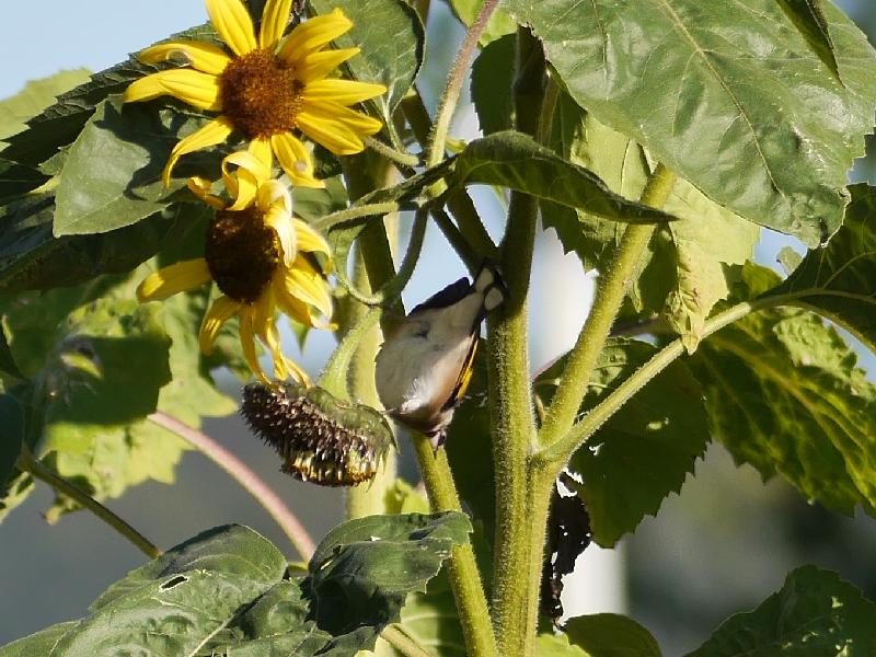 Ein Stieglitz hängt kopfüber an einerSonnenblume.