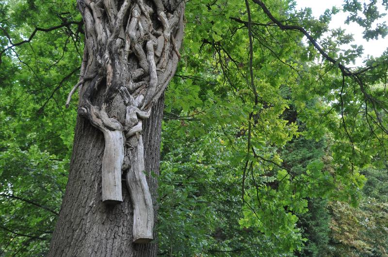 Äste von altem, bereits von den Wurzeln getrenntem Efeu an einem Baumstamm.